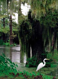 LOUISIANA Wildlife in the Bayou - Bald Cypress Trees ( Louisiana State Tree ) & a Great Egret is patiently waiting for a snack!