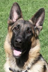 Troy! is an adoptable German Shepherd Dog Dog in Sacramento, CA. Troy was just rescued from the shelter and needs a great home! Here is what the shelter had to say about this cutie: Troy has had a rou...