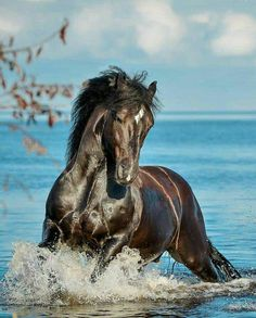 Shiny dark horse running in beautiful blue water!