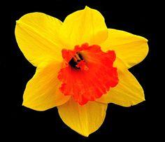 Daffodil, Flower, Spring