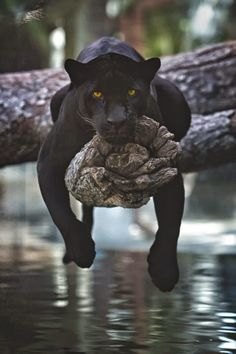 Black Jaguar Resting . . . by Charlie Burlingame - via Pars Kutay
