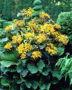 Ligularia dent.Breinkkeltunge Planting, Garden, Composters, Plants, Garten, Lawn And Garden, Outdoor, Tuin, Gardens