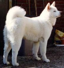 Looks like my baby :) white Akita