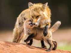 Nova Scotia photographer Ian Murray's image of a red fox mother and her cub has won first place in an American wildlife photography contest.  (Submitted by Ian Murray)