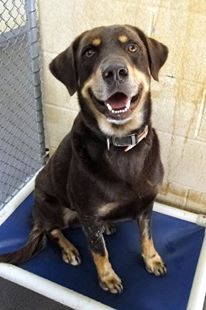 Washington NC [[URGENT]] <3 Sargeant is a handsome 2 year old chocolate/tan Lab mix. He is very friendly and laid back. For more info email animal.control@co.beaufort.nc.us. Always refer to the petango or ID number!  Id #1676: http://www.petango.com/Adopt/Dog-Retriever-Labrador-20771116 Adoption is $65 which includes spay/neuter, p/d shot, bordetella, microchip and deworming. Approved 501c3 Rescues can pull for $15 which includes p/d shot, bordetella, microchip and deworm.