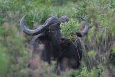 Buffalo spotted in the 6th Wonder of our World.