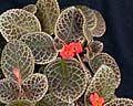 Episcia - Эписция, сорта Gardening, Plants, Places, Garten, Lawn And Garden, Horticulture