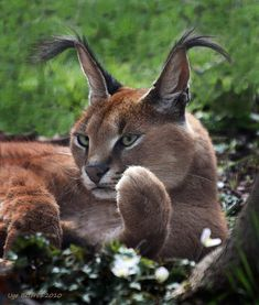 Lion Tigre, Caracal Cat, Animals And Pets, Cute Animals, Small Wild Cats, Gato Grande, Types Of Cats, Mountain Lion, Leopards
