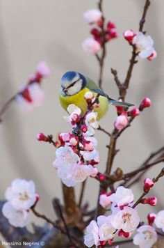 A sweet Blue Tit rests in the spring blossoms. Pretty Birds, Love Birds, Beautiful Birds, Animals Beautiful, Cute Animals, Parus Major, Blue Tit, Tier Fotos, Bird Pictures
