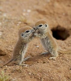 baby squirrels coming out of their burrow for the first time. sweet baby jesus they are CUTE.