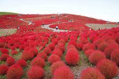 10-7000 Red Kochia Scoparia Seeds - Burning Bush - Ornimental Grass USA Shipping in Home & Garden,Yard, Garden & Outdoor Living,Plants, Seeds & Bulbs | eBay