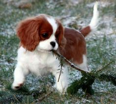 I can do it ! Watch me clean up this place. Blenheim Cavalier King Charles Puppy.