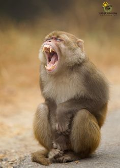 Rhesus #Monkey by Sudhir Shivaram #coupon code nicesup123 gets 25% off at  leadingedgehealth.com