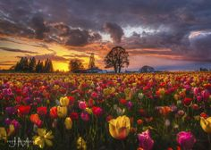 Tulip Skies by Jeff McNeill