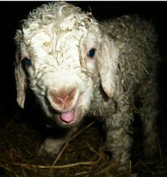 Lambs/kids/ sheep/goats :)