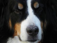 My cute puppy Bailey!  ~ GORGEOUS FACE, MARKINGS.  IS HE/SHE A BERNESE MOUNTAIN DOG? ~
