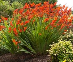 Crocosmia is an easy to grow perennial adored by hummingbirds!