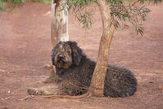 AUSTRALIAN LABRADOODLE/オーストラリアン ラブラドゥードル