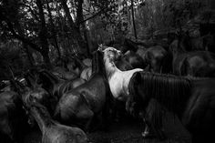 """""""The Wild Magic"""". Throughout Galicia, in northern Spain, is fulfilled the annual ritual of cutting the tails of wild horses that live free in the mountains. But is in the village of Sabucedo that the tradition of """"Rapa das Bestas"""" gains strength as international event with the attendance, every summer, of hundreds of fans and curious of this """"magic party"""". Photo location: Sabucedo, Galiza, Spain. (Photo and caption by Daniel Rodrigues/National Geographic Photo Contest)"""