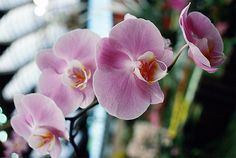 With delicate looking blooms flanked by elongated leaves, the orchid has long been a popular houseplant. Learn how to care for orchids to encourage them to re-bloom.