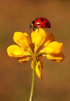 Ladybug. by Necdet Yasar