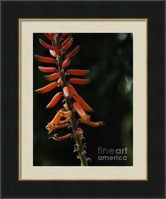 Aloe Bloom Framed Print By Chandra Nyleen