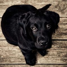 black labrador retriever - Google Search