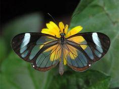 Les plus belles Photos de Greta Oto le Papillon transparent (38)