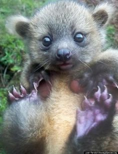 Olinguito kleine beersoort