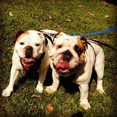 cola and fatty at the park #bulldog
