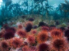 Here, red sea urchins carpet a kelp forest off British Columbia. The marine invertebrates are important links in the marine food chain. Fish pick at the urchins, which feed on bits of algae.