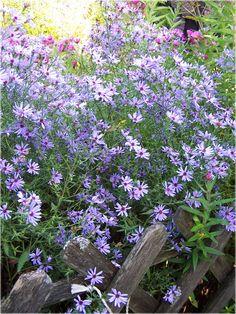 """Aster cordifolius """" Little Carlow """" typical cottage garden flower. Love Flowers, Beautiful Flowers, Colorful Garden, Shade Garden, Garden Styles, Dream Garden, Lawn And Garden, Garden Inspiration, Plants"""