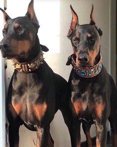 Dog Breeds Little .Dog Breeds Little Rottweiler Facts, Scary Dogs, Doberman Love, Doberman Funny, Doberman Pinscher Dog, Pet News, Dog Grooming, Belle Photo, Pitbull
