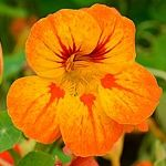 Trapaeolum majus Activate: Spontaneity Message: Spice up your life. Nasturtiums are one of my favorite garden flowers. I love to see them growing thick in a little world of their own! Little Land, Flower Names, Grow Your Own Food, Medicinal Herbs, Edible Flowers, Types Of Flowers, Container Gardening, Spice Things Up, Home And Garden
