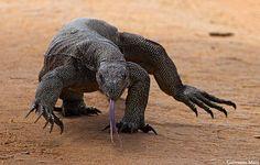 Land Monitor Lizard, Yala NP - Sri Lanka