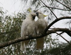 Love is all around - here with two cockatoos on my trip to Blue Mountains, Australia.