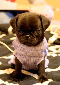 Black pug puppies in purple sweaters!