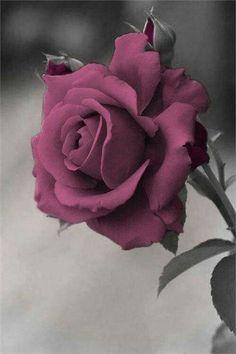 Beautiful Flowers Wallpapers, Beautiful Rose Flowers, Rare Flowers, Flowers Nature, Exotic Flowers, Amazing Flowers, Floral Wallpapers, Pretty Roses, Flower Phone Wallpaper