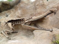 Sarcosuchus Imperator Fossil I'm glad these things aren't alive anymore I could never swim if they were