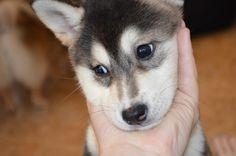 Kaia my shiba inu husky mix as a puppy, she was such a cutie!