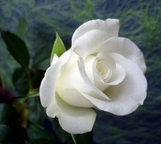 significato rose bianche