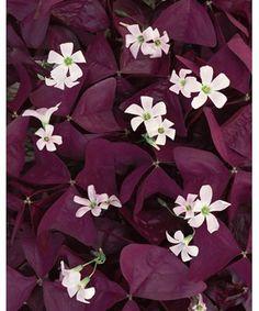 Best perennials for shade pinterest shade perennials jack frost charmed wine oxalis mightylinksfo