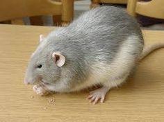Potkan domácí