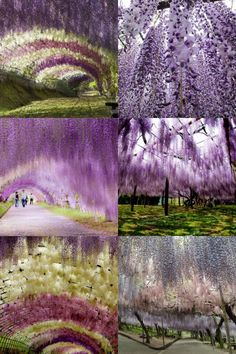 The Wisteria Flower Tunnel at Kawachi Fuji Garden   Located in the city of Kitakyushu, Japan, Kawachi Fuji Garden is home to an incredible 150 Wisteria flowering plants spanning 20 different species. The garden's main attraction is the Wisteria tunnel that allows visitors to walk down an enchanting tunnel exploding with colour.