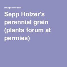 Sepp Holzer's perennial grain (plants forum at permies)