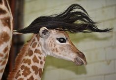 Little giraffes getting a nice hairdo. -- Click through to Dark Roasted Blend: Suddenly. (Funny Pics) for some fascinating giraffe information and lots more photos. Cute Animals With Funny Captions, Animal Captions, Funny Couple Pictures, Funny Animal Pictures, Animal Pics, Funny Cute, The Funny, Hilarious, Nature Animals