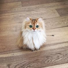 Smoothie the British Longhair is one gorgeous little feline, which can make anyone's heart melt...