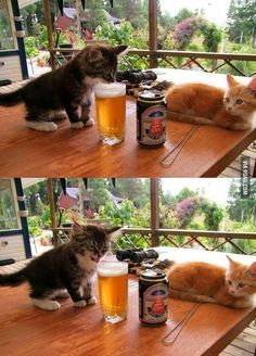 Funny pictures about Kitten's First Beer. Oh, and cool pics about Kitten's First Beer. Also, Kitten's First Beer photos. Funny Animal Pictures, Funny Animals, Cute Animals, Funny Images, Funny Photos, Random Pictures, Animals Images, Cute Kittens, Cats And Kittens