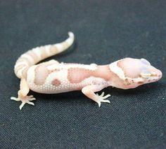 Cool leopard gecko morph!