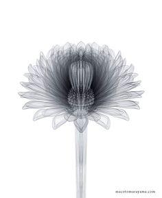 Botanical diagrams by Macoto Murayama